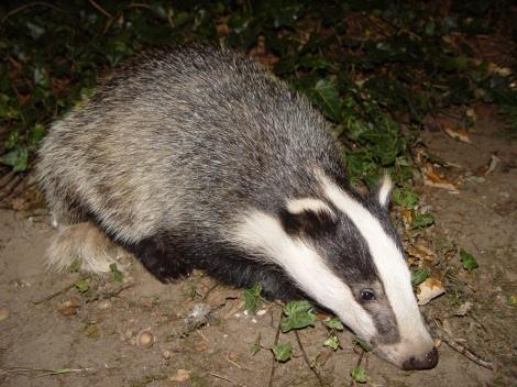 Badger, badger, badger...